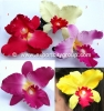 Cattleya-L-Colors